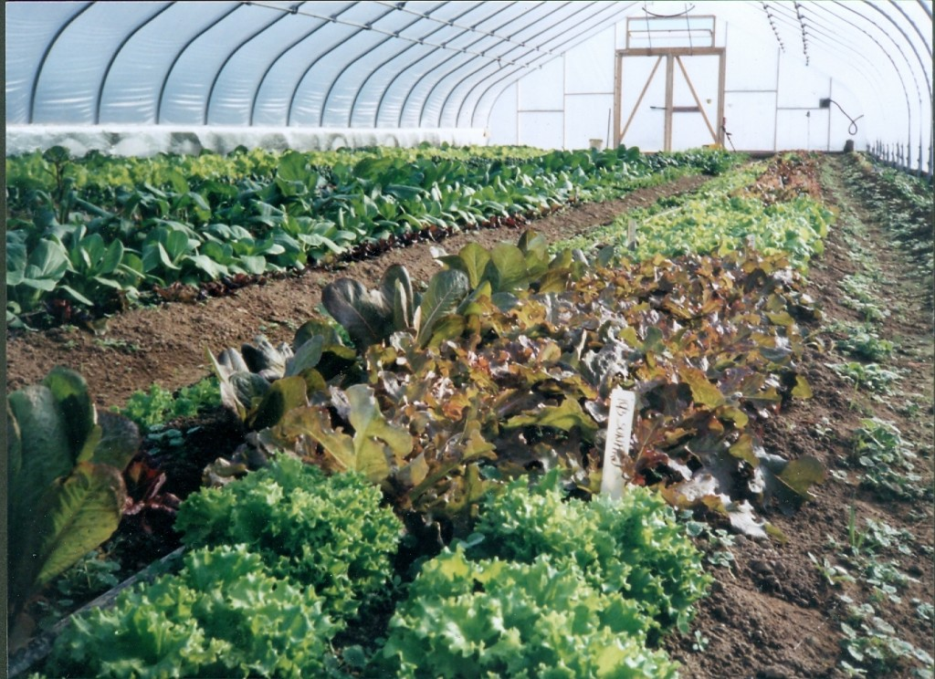 Our hoophouse bursting with winter greens. Credit Twin Oaks Community