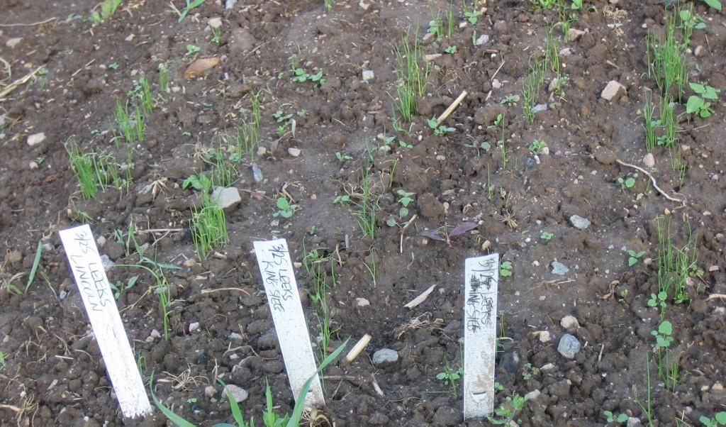 Leek seedlings growing in an outdoor nursery bed. Credit Kathryn Simmons