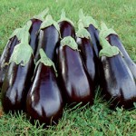 Florida Highbush eggplant from Seed Savers Exchange