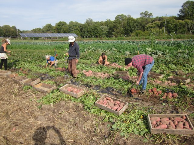 The crew working on the sweet potato harvest. Photo McCune Porter