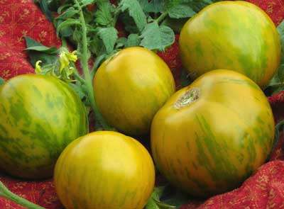 Green Zebra tomato. Credit Southern Exposure Seed Exchange