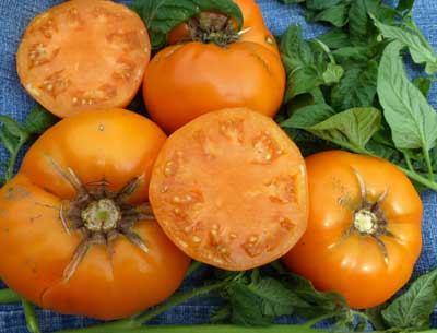 Yellow Brandywine tomato. Credit Southern Exposure Seed Exchange