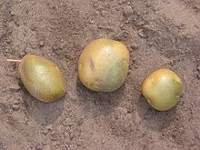 Green skinned potatoes.  Credit Wikipedia File:Groene_aardappels_'Doré'_(Solanum_tuberosum_'Doré').jpg