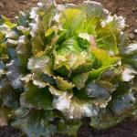 Carioca Batavian lettuce. Credit Johnnys Seeds