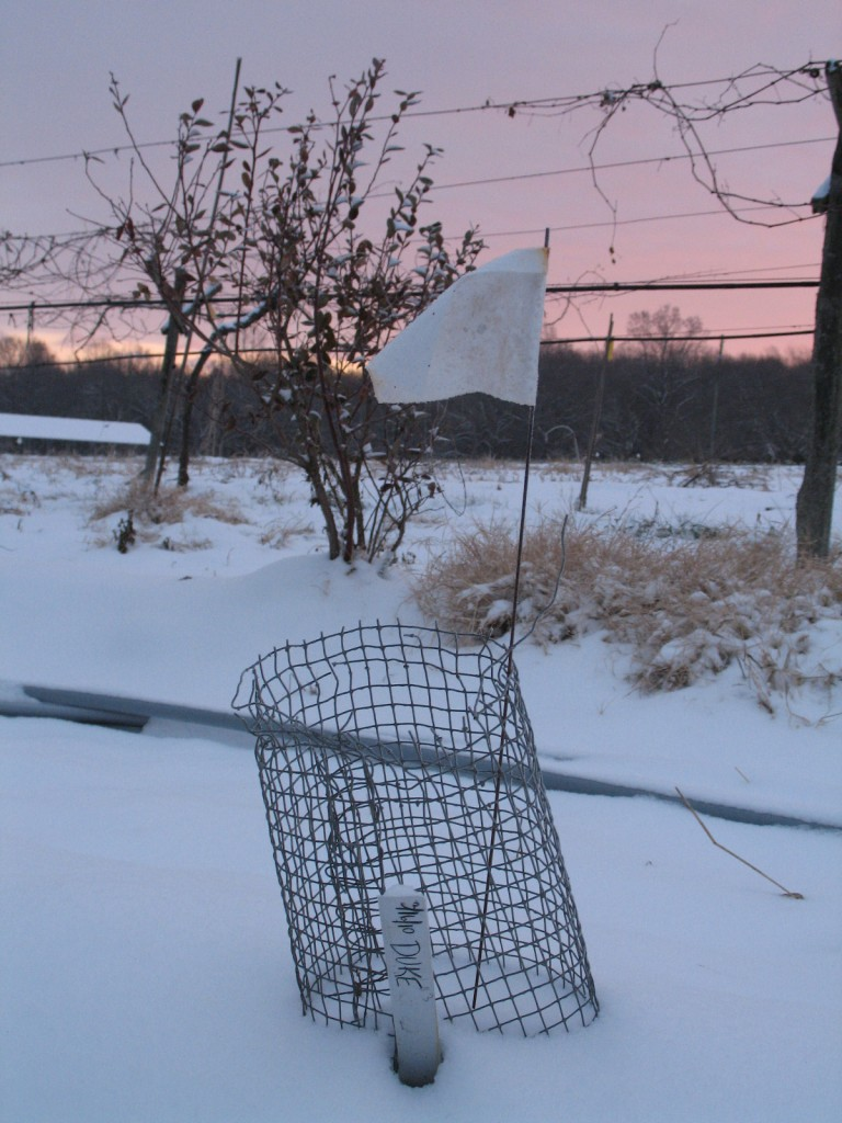 Young blueberry bush in the snow. Credit Bridget Aleshire