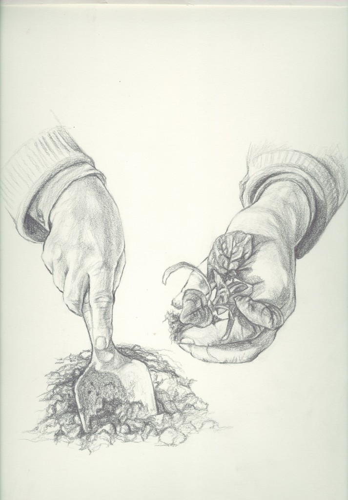 Transplanting bare-root spinach. Drawing by Jessie Doyle