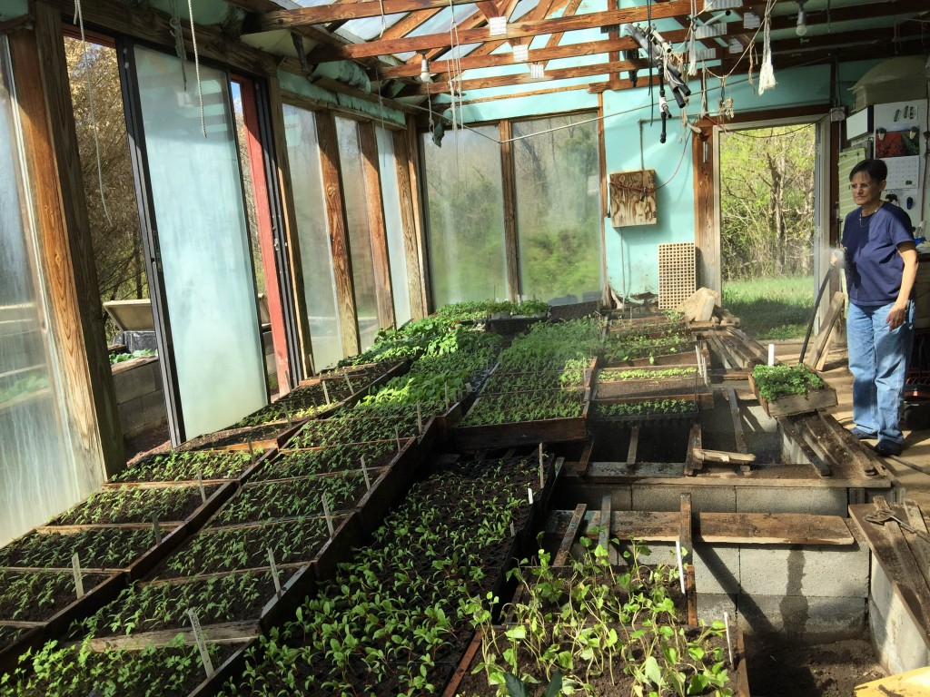 Watering seedlings in our greenhouse. Photo Pam Dawling