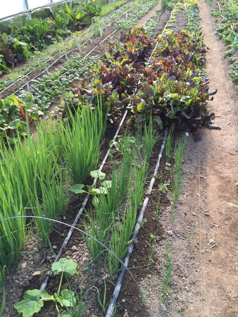 Hoophouse in April - transition to summer squash from winter scallions and Bulls Blood beets. Photo Cass Russillo