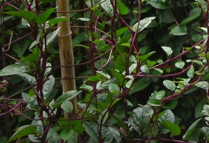 What we're looking forward to - Malabar spinach. Photo by Southern Exposure Seed Exchange