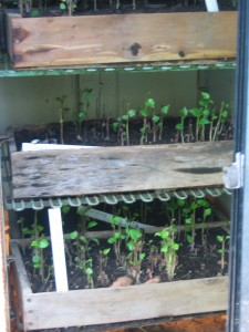 Growing sweet potato slips, using an old fridge as an insulated chamber. Photo Kathryn Simmons