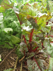 Ruby chard. Photo Kathryn Simmons