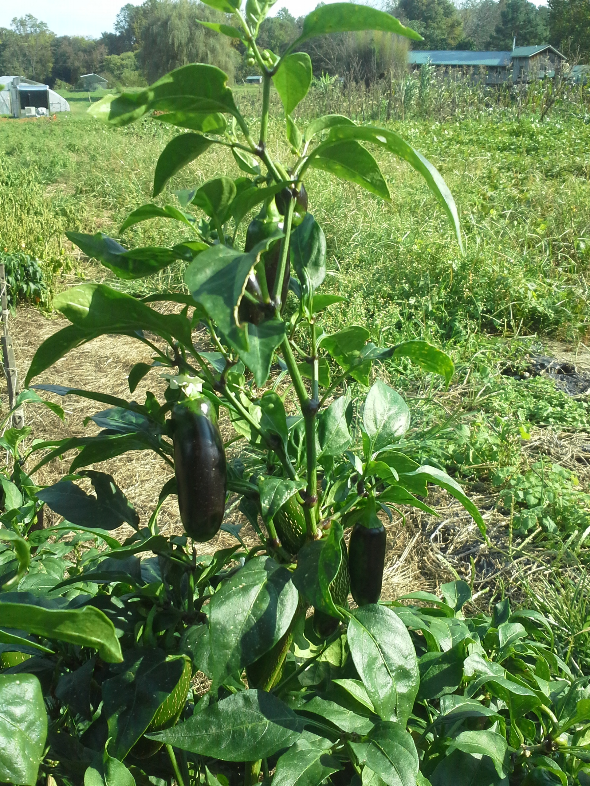 Jalapeno hot pepper plant with a fruit changing from green to red via black. Photo Bridget Aleshire