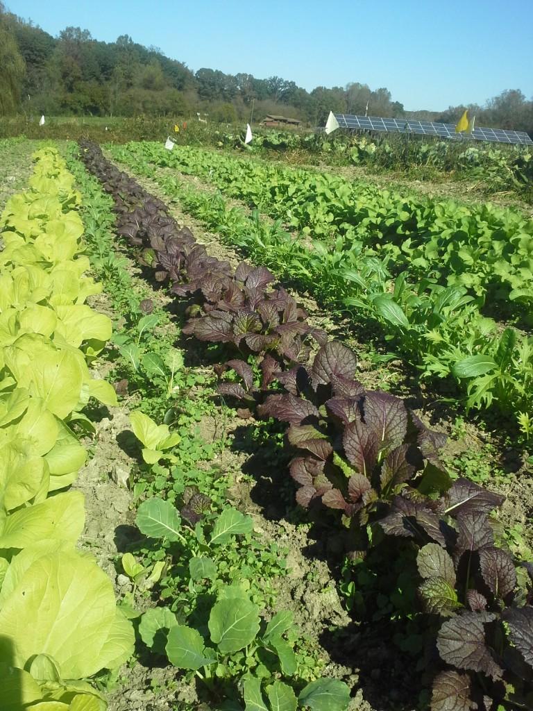 Twin Oaks Eat-All Greens on October 19. Photo Bridget Aleshire