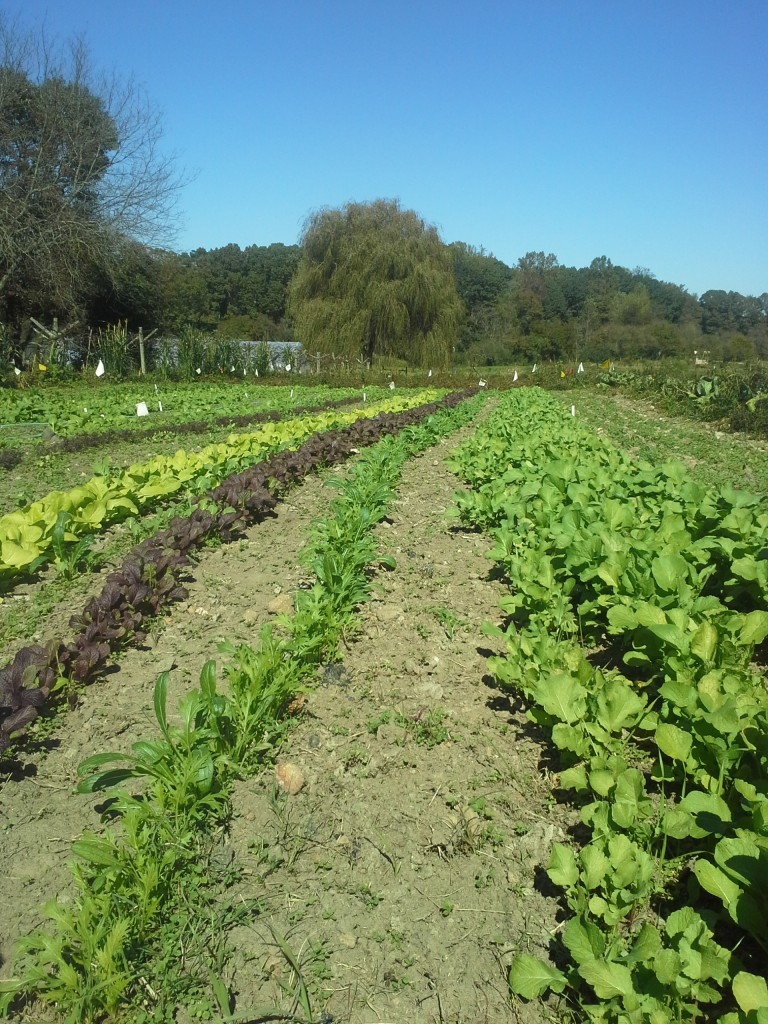 Twin Oaks Eat-All Greens on Oct 22. Photo Bridget Aleshire