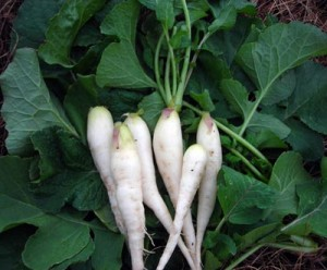 White Icicle radish Photo Southern Exposure Seed Exchange