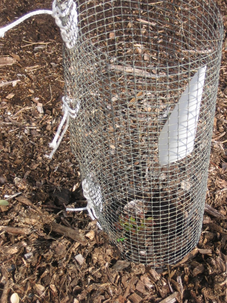 Young blueberry plant protected with wire netting. Photo Kathryn Simmons