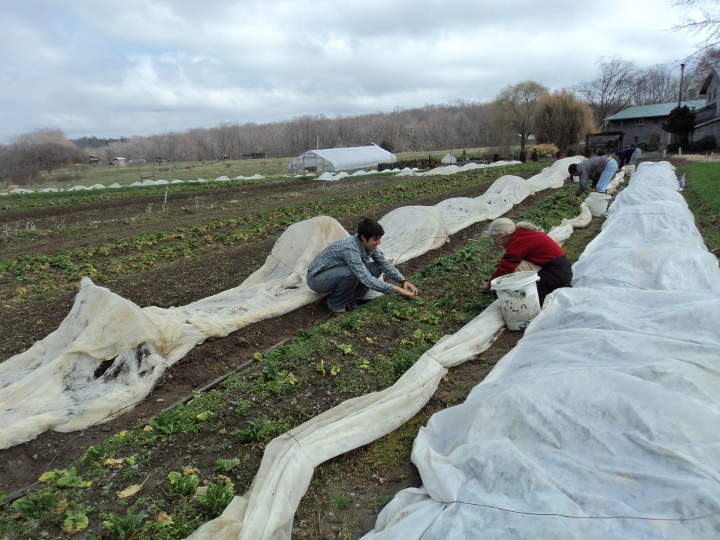 Weeding overwintered spinach in March Wren