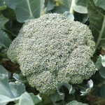 Green Magic broccoli Credit Johnnys Seeds