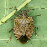 Adult female brown marmorated stink bug. Credit Rutgers New Jersey Ag Station
