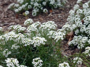Sweet Alyssum Credit Southern Exposure Seed Exchange