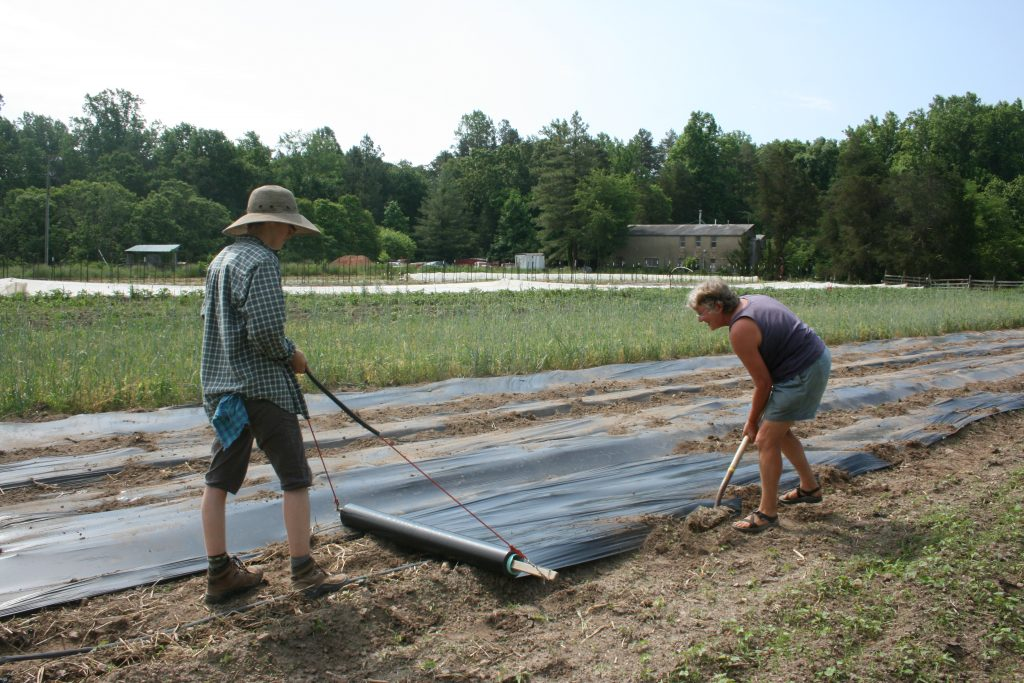 Rolling biodegradable plastic mulch by hand Photo Wren Vile