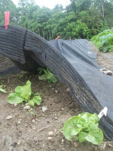 Shade cloth on a bed of lettuce in summer. Photo Nina Gentle