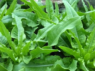 Sword Leaf Lettuce Photo Southern Exposure Seed Exchange