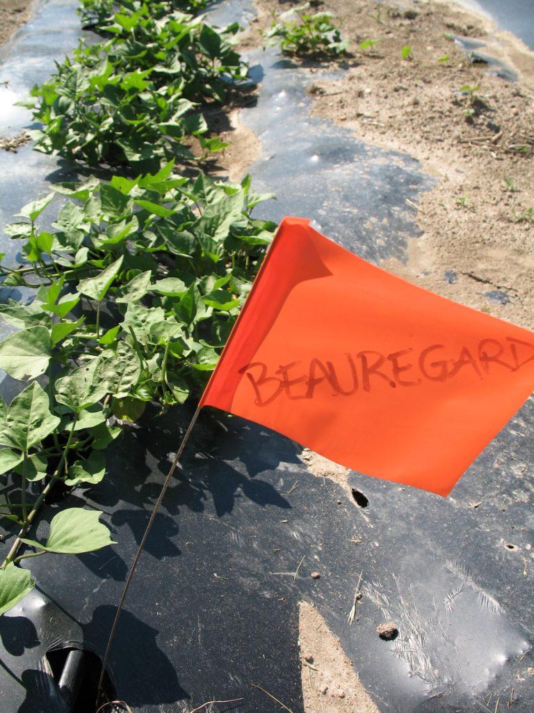 Beauregard sweet potatoes on biodegradable plastic mulch. Photo Bridget Aleshire