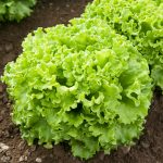 Muir Batavian lettuce. Photo Johnnys Seeds