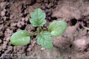 Henbit seedling. Photo from UC IPM Weed Gallery