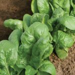 Tyee spinach. Photo Johnnys Selected Seeds