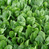 Chevelle spinach. Photo Enza Zaden