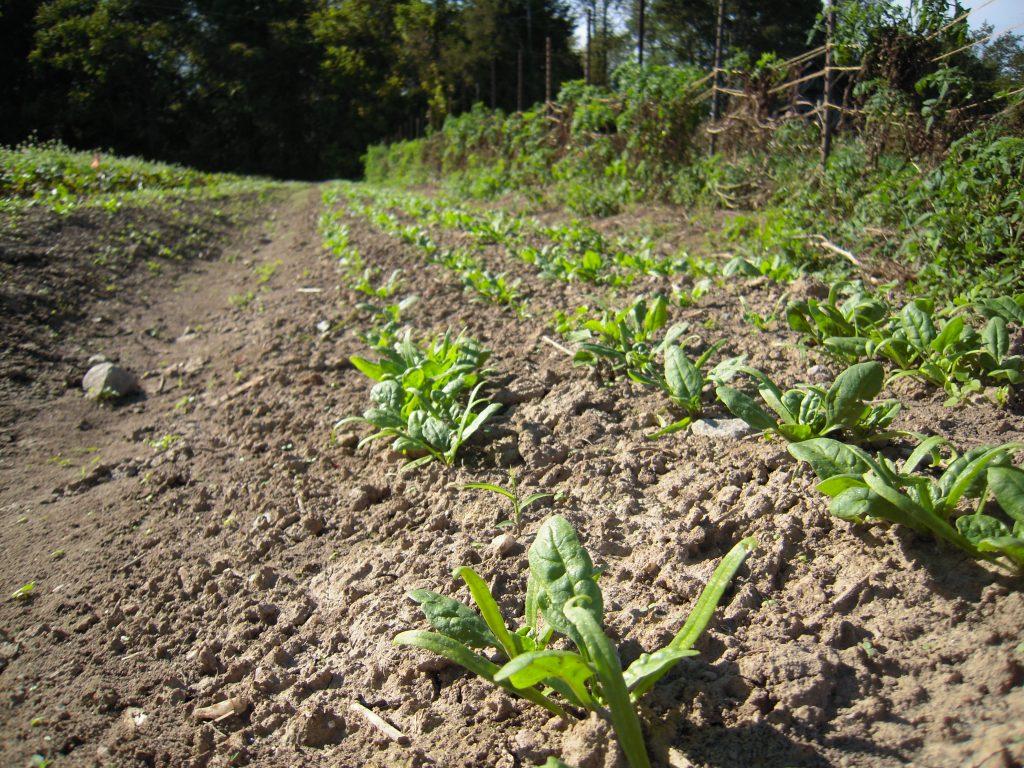 Fall spinach Photo Wren Vile