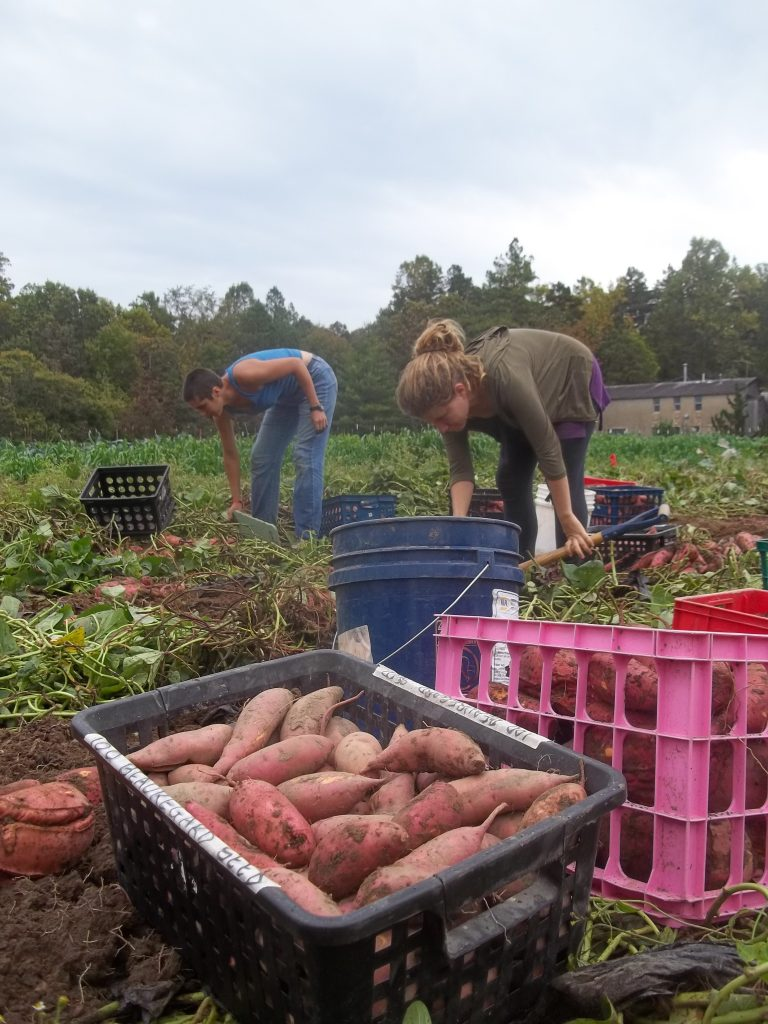 Sweet potato harvest and seed selection crate. Photo Nina Gentle