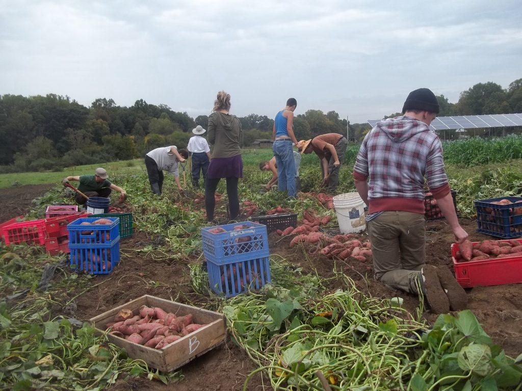 Sweet potato harvest. Photo Nina Gentle