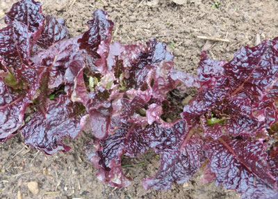Outredgeous lettuce at an adolescent stage. Photo