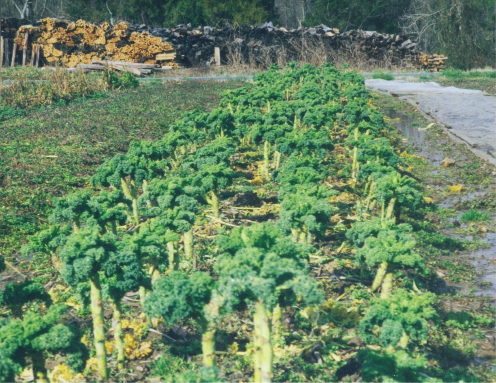Vates kale after a winter of much harvesting. Photo Twin Oaks Community