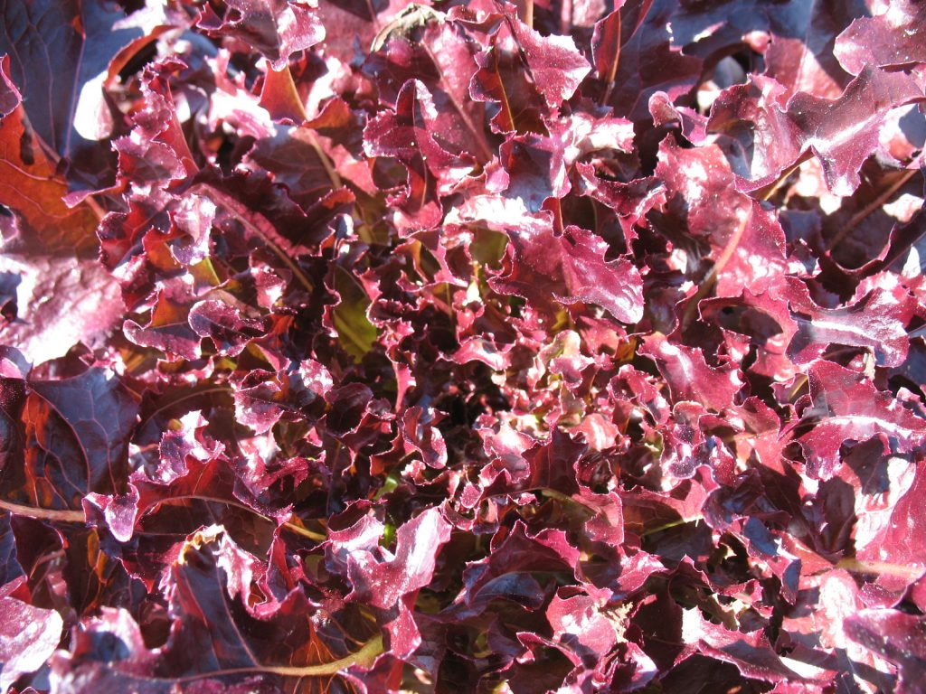 Red Salad Bowl lettuce.. Photo Bridget Aleshire