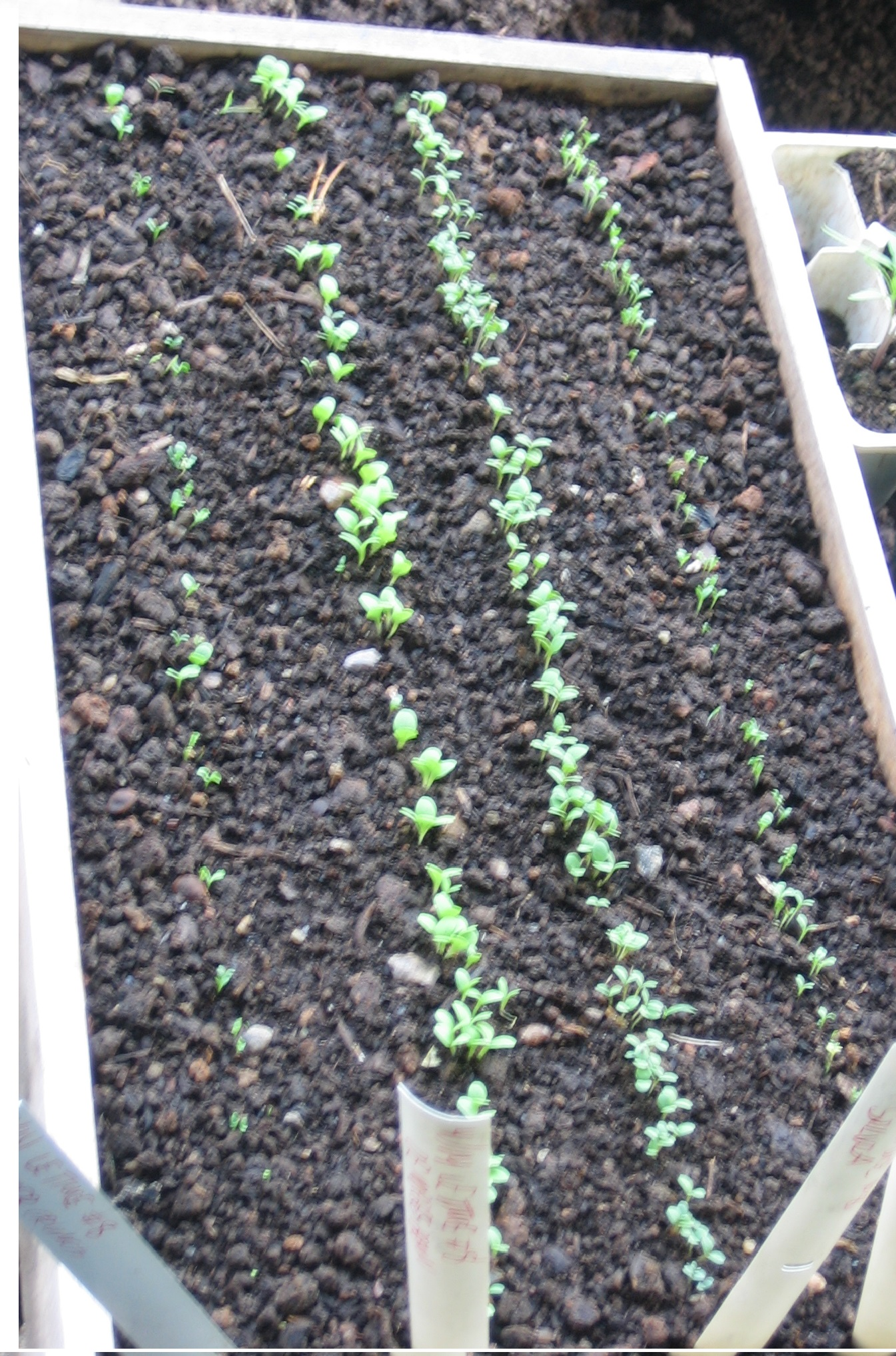 Newly germinated lettuce seedlings. Photo Kathryn Simmons