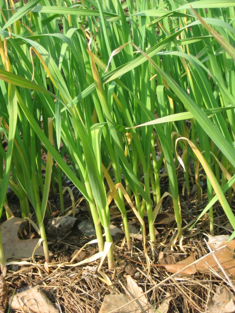 A healthy patch of garlic scallions in spring Photo credit Kathryn Simmons