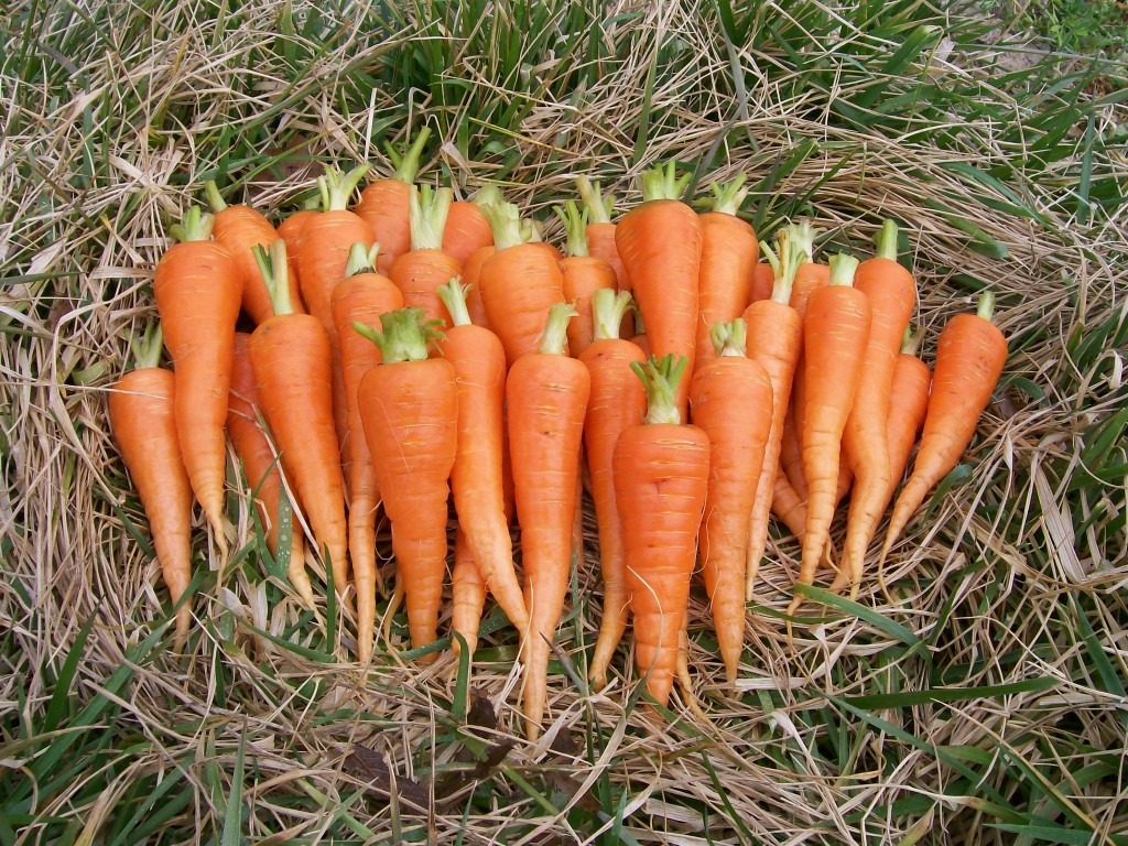 Danvers Half-long carrots. Credit Southern Exposure Seed Exchange