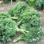 Blue Ridge kale. Credit Osborne Seeds