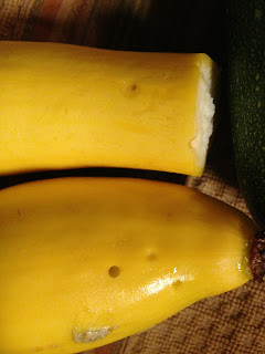 Pickleworm damage to yellow squash. Credit Sunninglow Farms