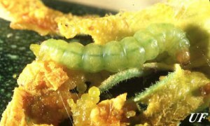 Large pickleworm larva. Photo University of Florida