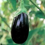 Epic eggplant from Osborne Seeds