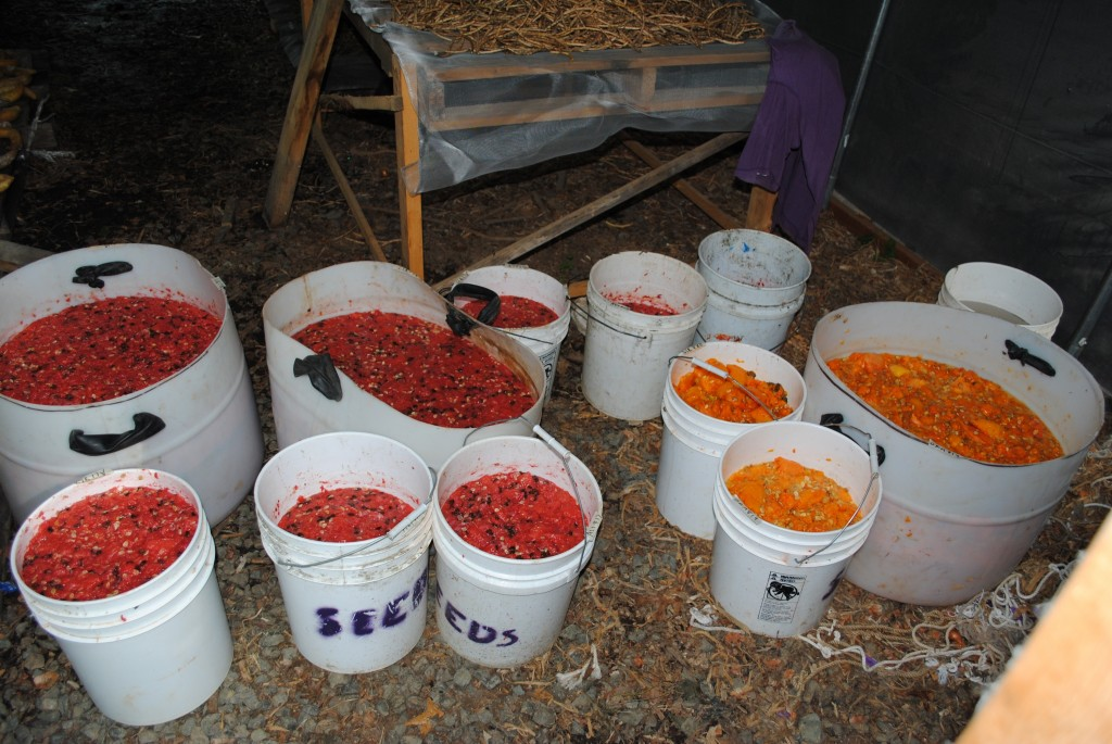 Tomato Seed Fermentation. Credit Twin Oaks Community