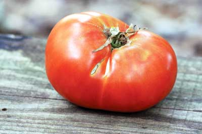 Radiator Charlie's Mortgage Lifter tomato. Credit Southern Exposure Seed Exchange