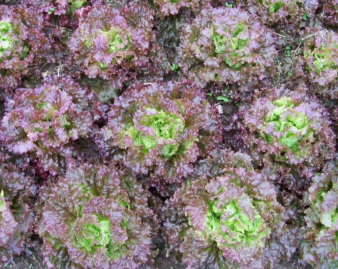 Red Salad Bowl lettuce. Credit Southern Exposure Seed Exchange