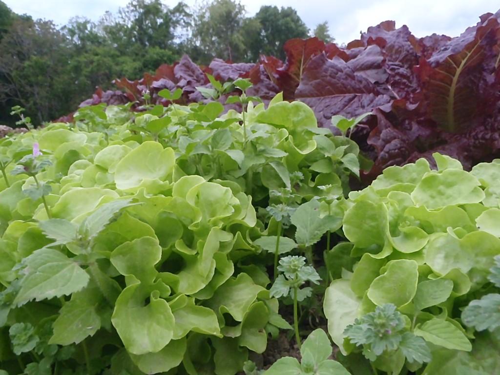 Lettuce bed. Credit Wren Vile
