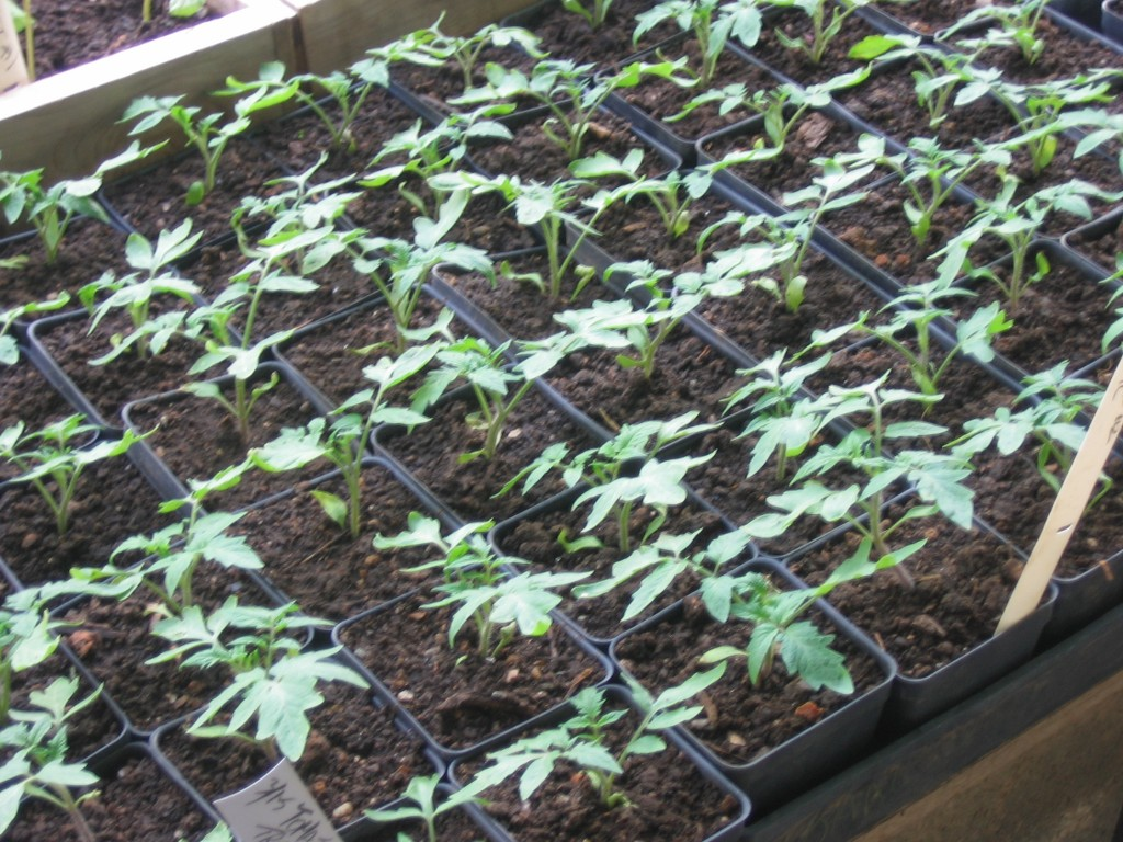 This time next week? Tomato seedlings potted up in the greenhouse.  Credit Kathryn Simmons